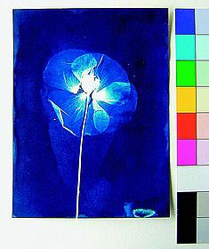 Cyantopie für die Referenzsammlung, Belichtung als Fotogramm mit einer getrockneten Mohnblume